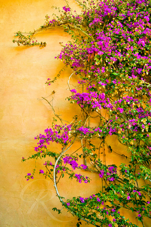 Bougainvillea on the Wall