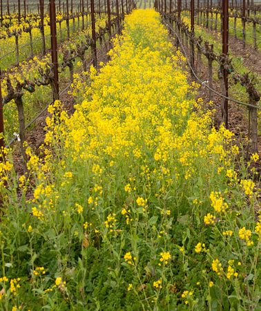 Spring Mustard Between the Vines