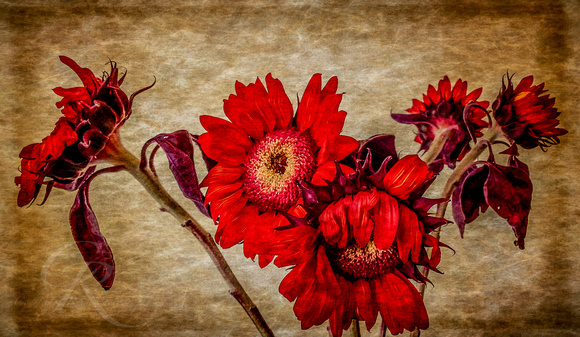Dahlias in Texture